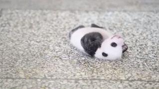 Il cucciolo di panda che non riesce a girarsi