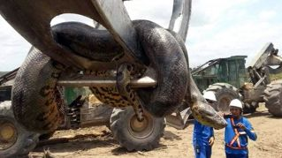 Paura nel cantiere: spunta un gigantesco anaconda di dieci metri