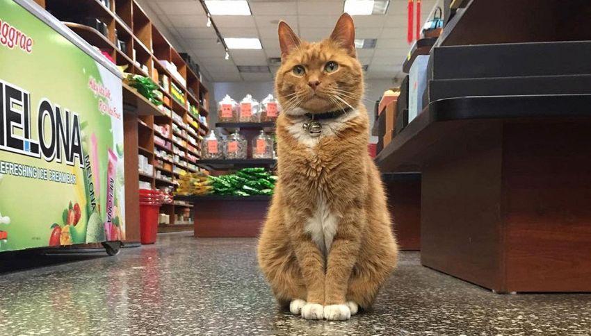 Alla scoperta di Bobo, il gatto 'stakanovista' idolo di Chinatown