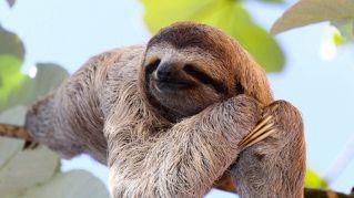 La sopravvivenza dei bradipi dipende dalla loro lentezza
