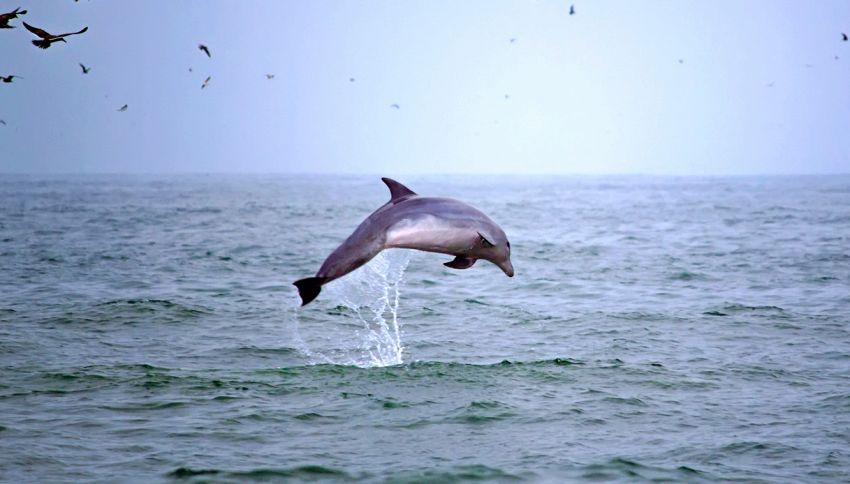 Paura in Australia: delfino si scontra con surfista