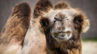 10 buoni motivi per bere latte di cammello