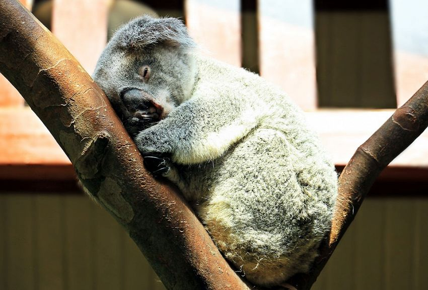 Gemellini di koala, tutta la tenerezza per migliorare la giornata