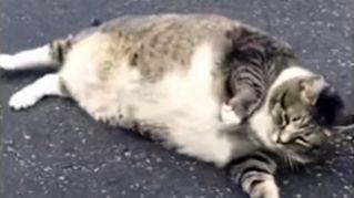 Ecco Logan, il gatto obeso che ha conquistato il web