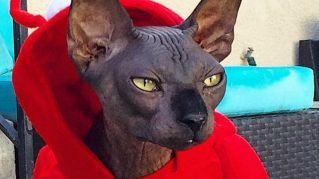 Come travestire il gatto per Halloween, foto assurde e divertenti