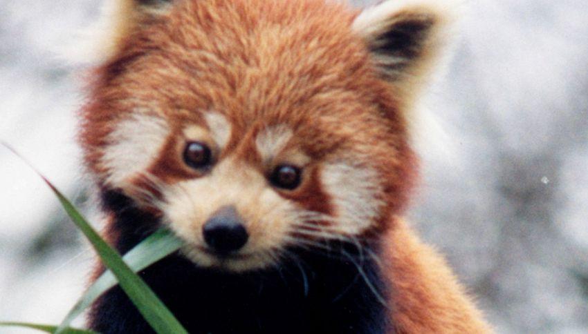 L'unico panda marrone al mondo è vittima di bullismo