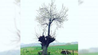 Due anime in un albero: il prodigio del ciliegio cresciuto sopra il gelso