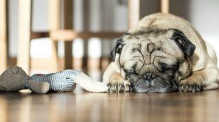 Dimmi come dorme il tuo cane e ti dirò il suo carattere