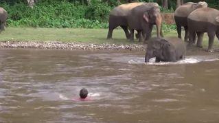 Elefantino si tuffa nel fiume per salvare un uomo che sta affogando