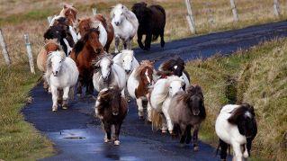 Foula: l'isola al largo della Scozia che ha più pony che abitanti