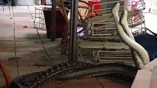 Serpenti a colazione? Due pitoni lottano in una cucina