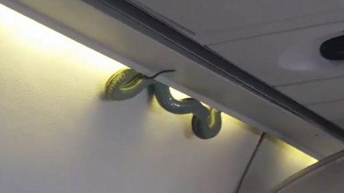 Serpente spunta dal vano bagagli di un aereo terrorizzando i passeggeri