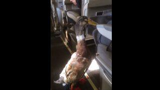 Usa, anatra da terapia sale a bordo di un aereo