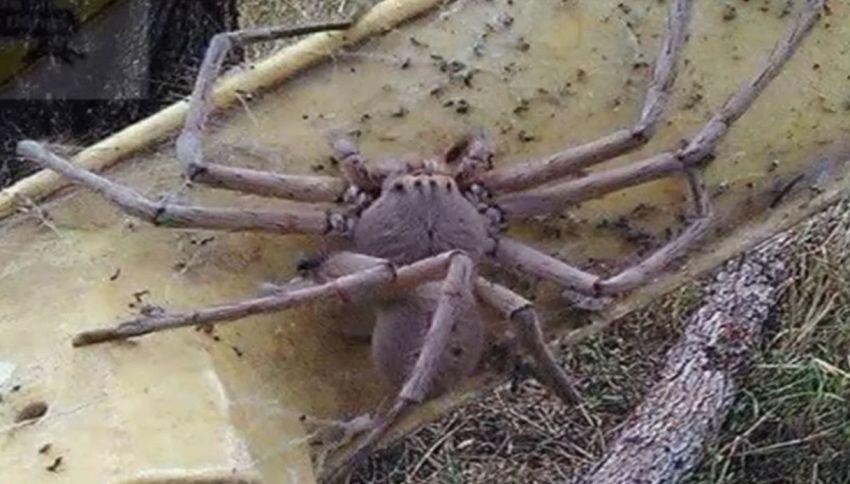 Ecco Charlotte: il ragno gigante che terrorizza il web