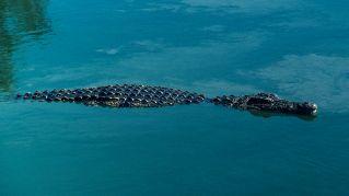 Avvistati due coccodrilli nel Po. Si riapre il giallo