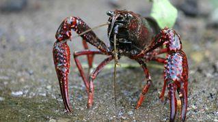 Specie aliene che distruggono i nostri fiumi: dal gambero killer allo squalo di fiume