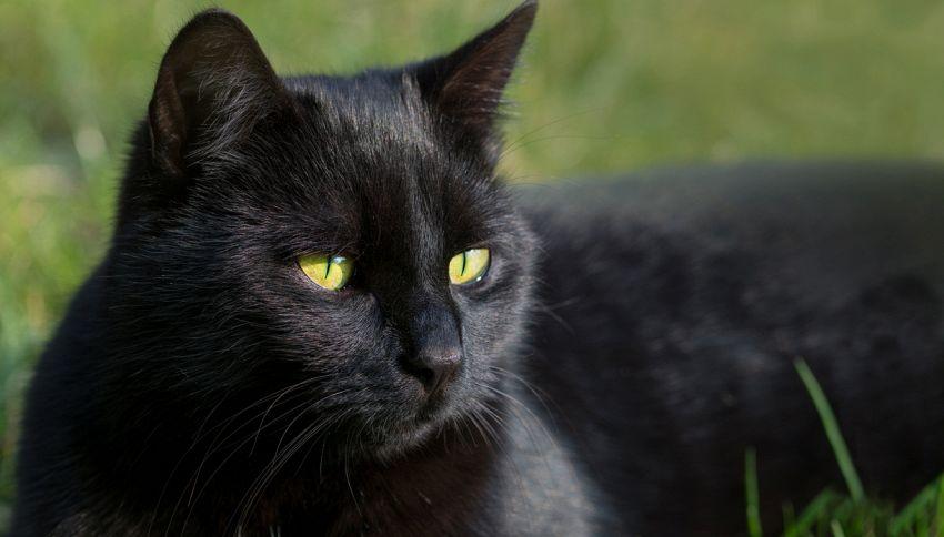 17 novembre, giornata del gatto nero: 9 curiosità tra realtà e superstizione