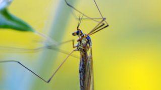 Quanto vive una zanzara? Cambia se maschio o femmina?