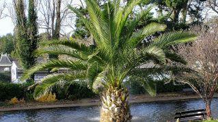 Grazie a un seme di 2000 anni, a Israele rinasce una palma biblica creduta estinta