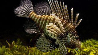 Alieni del mare: in arrivo il pericoloso pesce scorpione