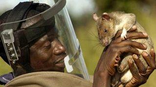 In Tanzania arrivano i ratti poliziotto contro il contrabbando