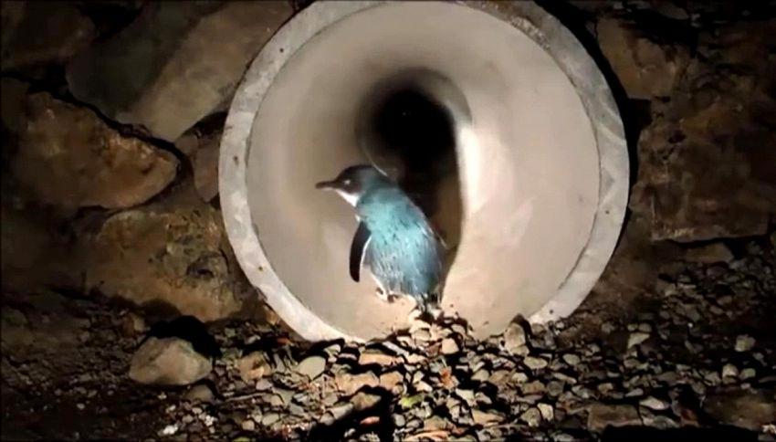 In Nuova Zelanda c'è un sottopassaggio solo per pinguini