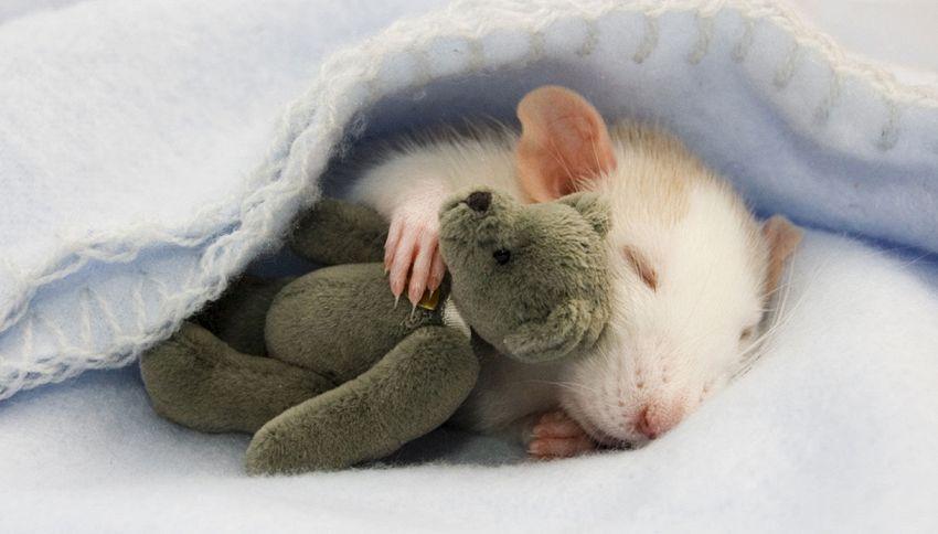 I topolini dormono abbracciati ai peluches: le foto virali