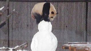 Il panda gioca con il pupazzo di neve