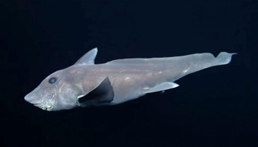 Le prime immagini dello squalo fantasma