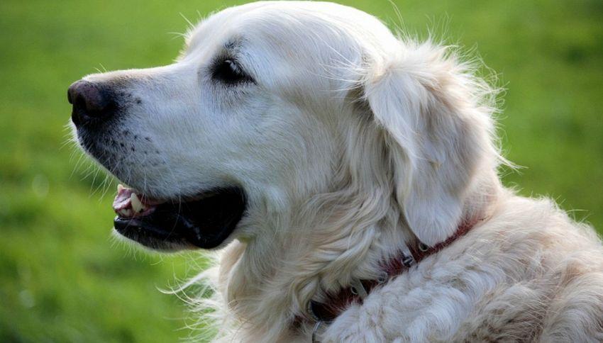 La storia di Arthur, il cane che attraversò la giungla per 700 km