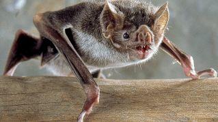 I pipistrelli vampiri del Brasile attaccano gli umani!