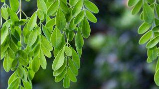 Si chiama Moringa, è l'albero che ci salverà dalla fame