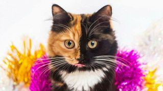 Yana, l'incredibile gattino bicolore