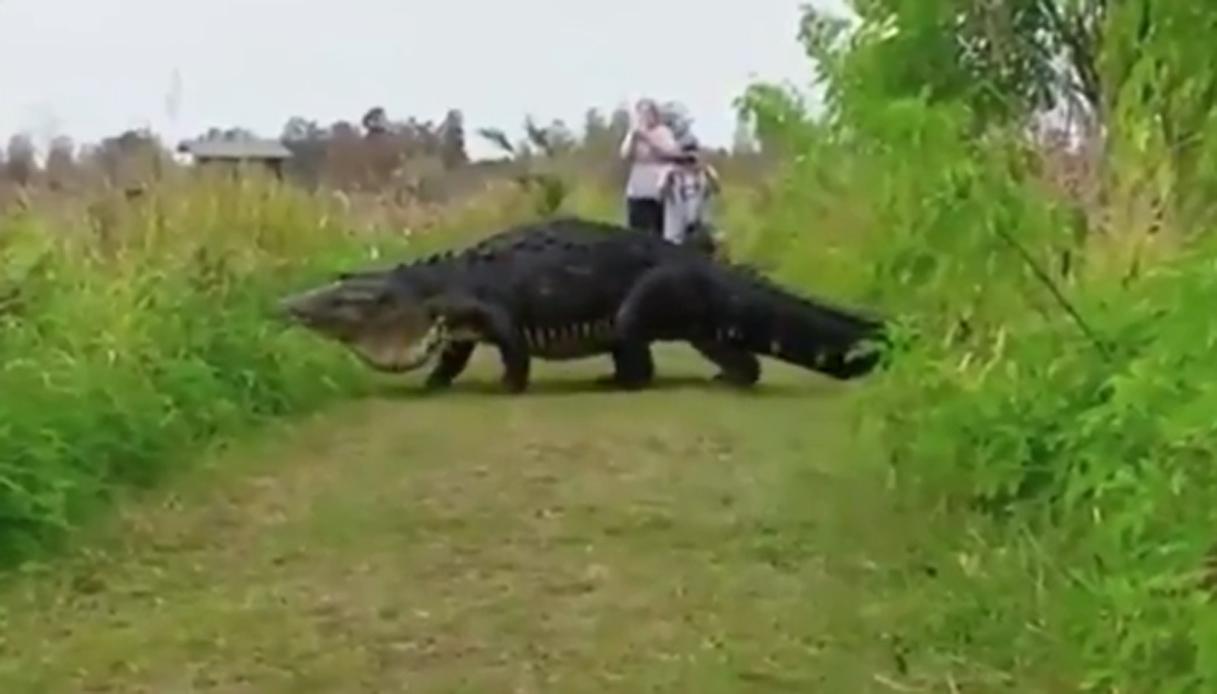 Forse è Godzilla: alligatore gigante filmato in Florida