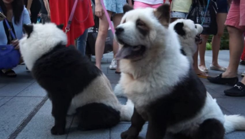 A Singapore arrivano i cani che si trasformano in panda