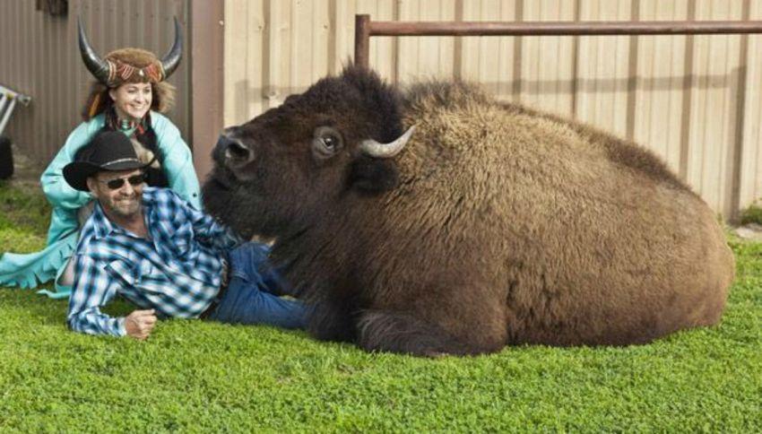 C'è una coppia in Texas che vive con un enorme bufalo in casa