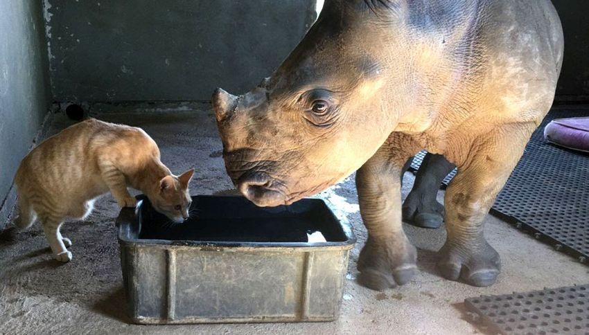La strana coppia: il gatto e il rinoceronte amici per la pelle