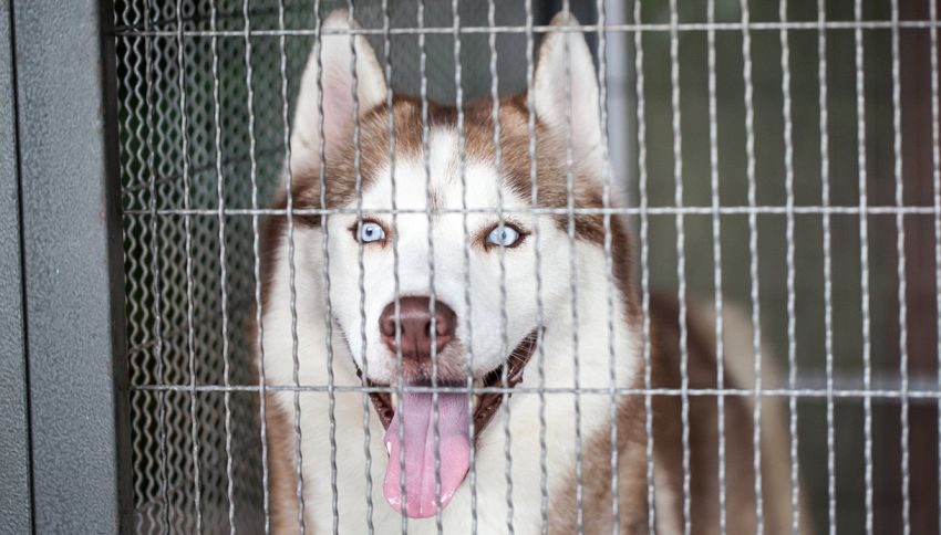 Evasione a quattro zampe: husky apre gabbie e fugge con due cani