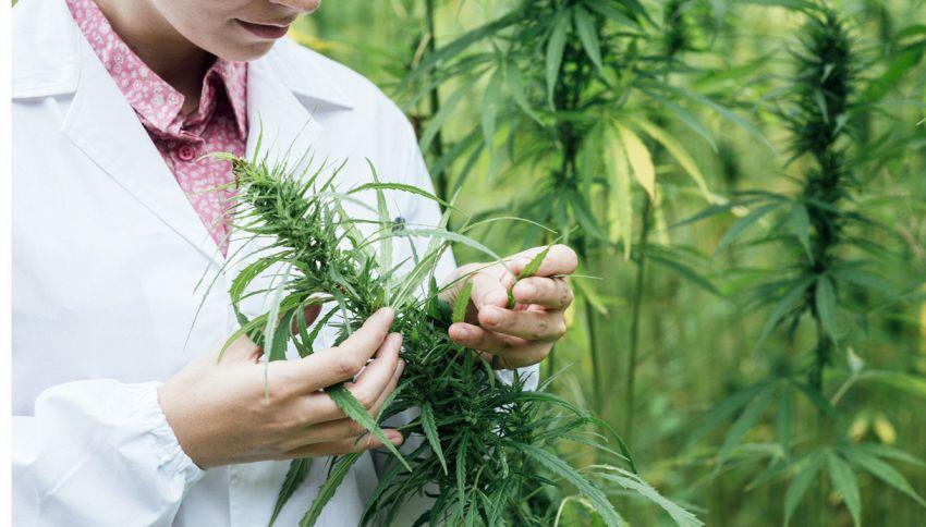 Diventare sommelier di cannabis: ecco come