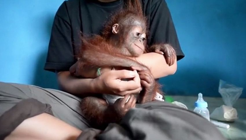 Cucciola di orango allevata come animale da compagnia