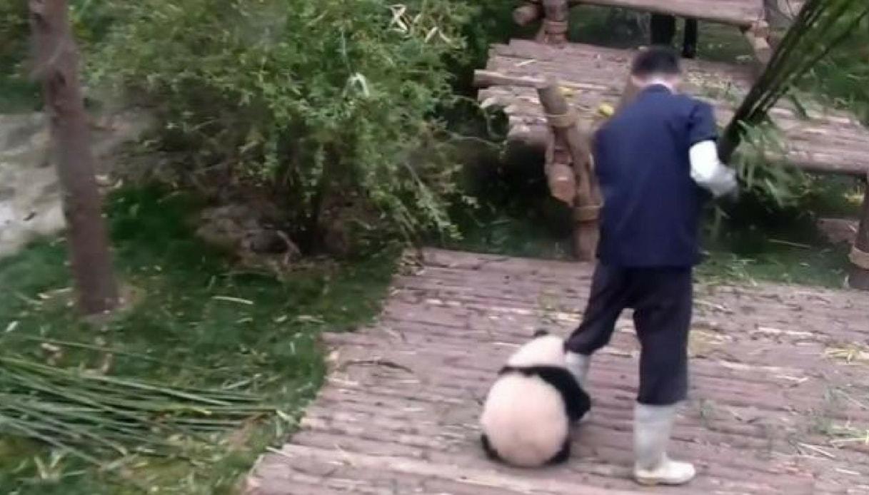 Ecco il panda più affettuoso del mondo