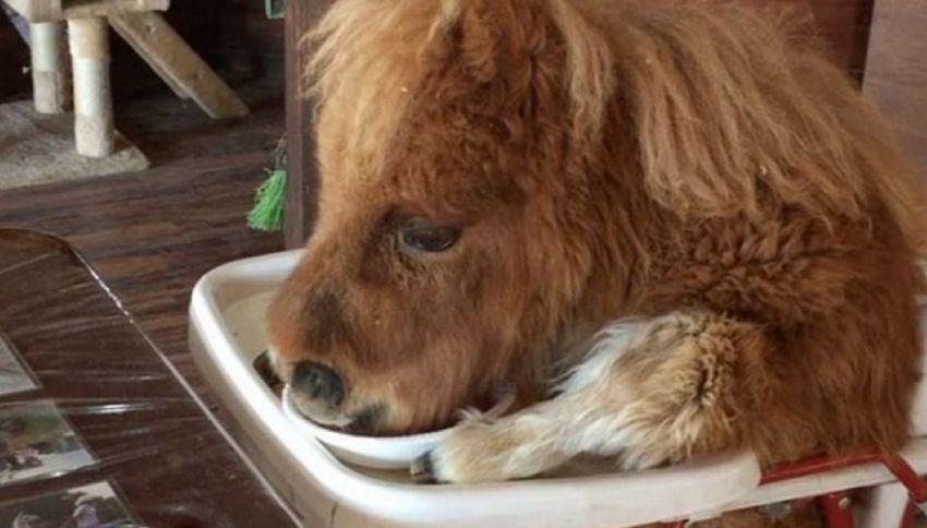 Il pony sul seggiolone mangia come un bimbo. Il video è virale