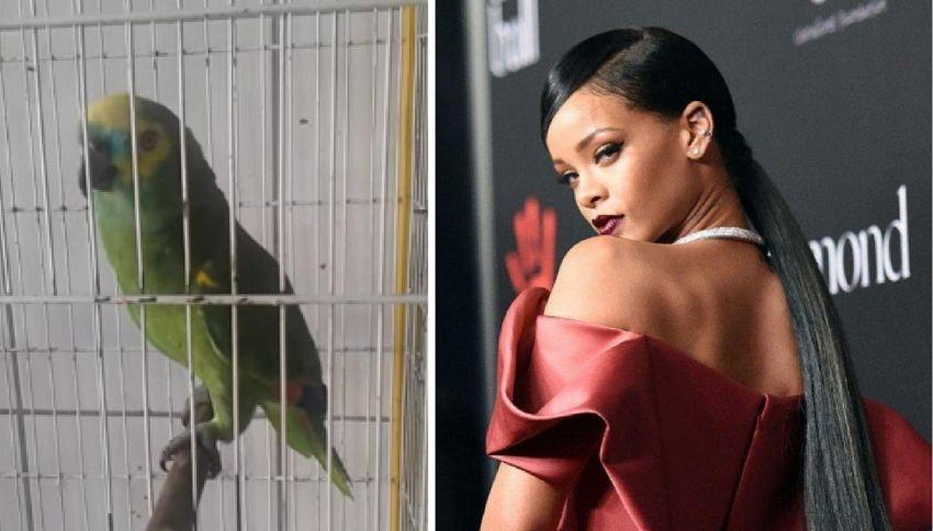 Il pappagallo canta la canzone di Rihanna, performance da brividi