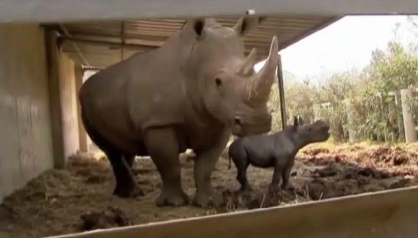 Nato cucciolo di rinoceronte bianco, un evento eccezionale