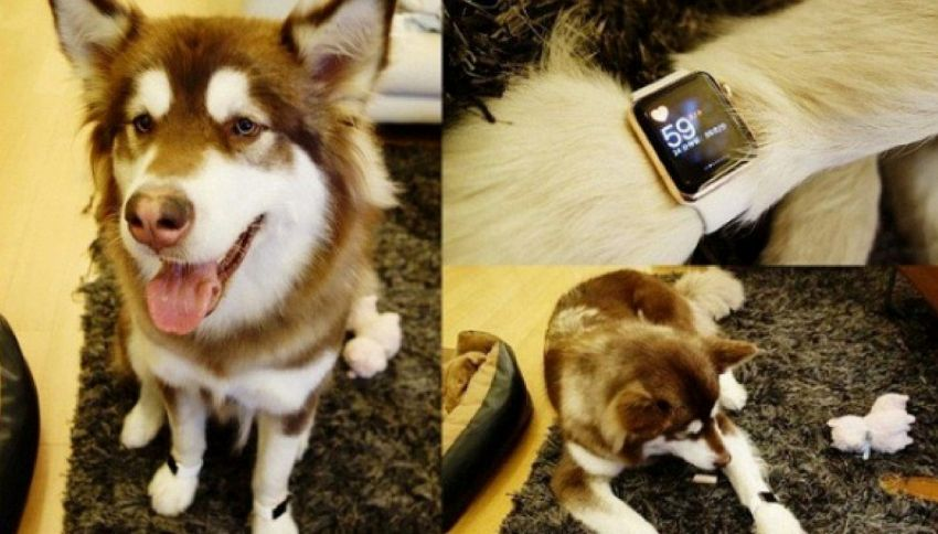 Ecco il cane che indossa l'Apple Watch