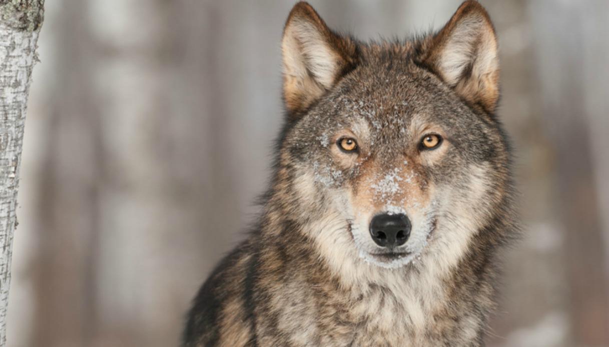 I lupi sono tornati a Roma, invasione nella Capitale