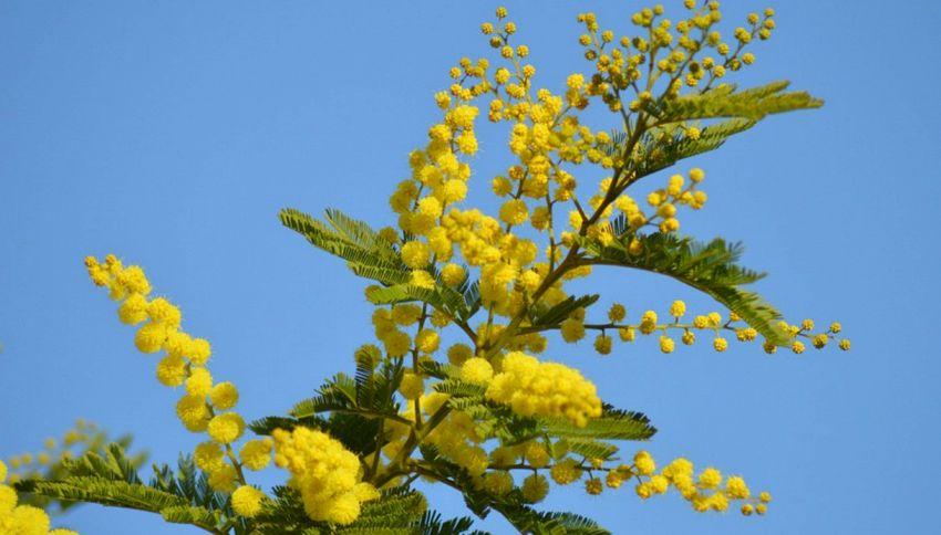 Festa delle donne, perché si regala la mimosa