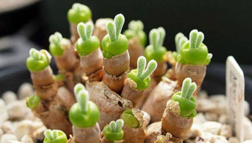 Le strane piante grasse a forma di coniglietti
