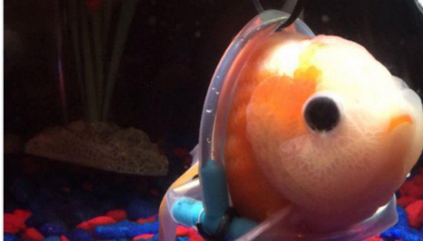 Il pesciolino rosso non galleggia un'opera di ingegneria lo aiuta