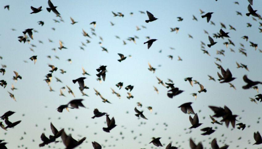 Ecco perché gli uccelli in volo non si scontrano mai
